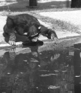 self_chimp
